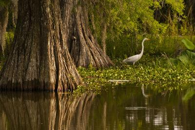 Bald Cypress and Great Egret in Swamp, Lake Martin, Louisiana, USA--Photographic Print