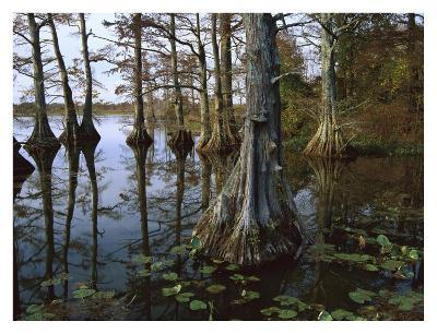 Bald Cypress at upper Blue Basin, Reelfoot National Wildlife Refuge, Tennessee-Tim Fitzharris-Art Print