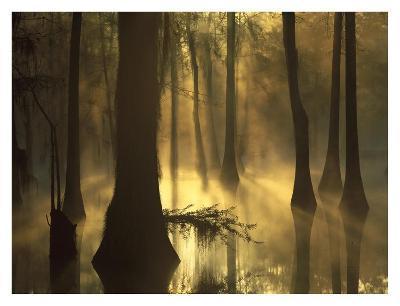 Bald Cypress grove in freshwater swamp at dawn, Lake Fausse Pointe, Louisiana-Tim Fitzharris-Art Print