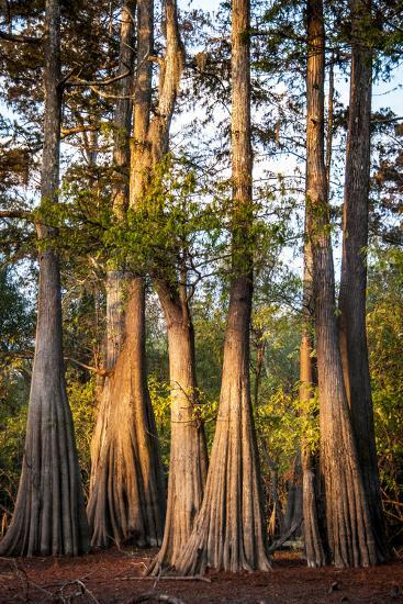 Bald Cypress in Water, Pierce Lake, Atchafalaya Basin, Louisiana, USA-Alison Jones-Photographic Print