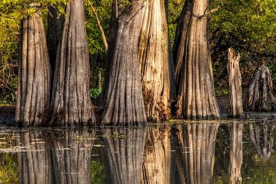 Bald Cypress in Water, Pierce Lake, Atchafalaya Basin, Louisiana, USA-Alison Jones-Photographic Print