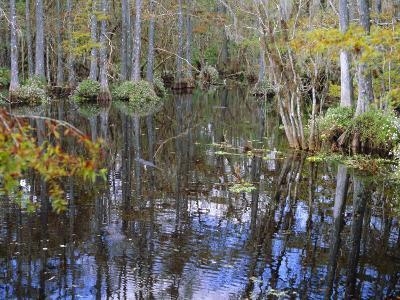 Bald Cypress Swamp Near Fort Myers, Florida, USA-Fraser Hall-Photographic Print