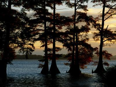 Bald Cypress Trees Growing Along the Banks of Reelfoot Lake-Raymond Gehman-Photographic Print