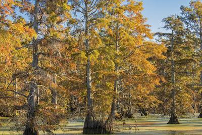 Bald Cypress Trees in Fall, Horseshoe Lake State Fish and Wildlife Areas, Alexander County, Il-Richard and Susan Day-Photographic Print
