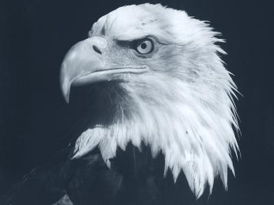 Bald Eagle 3-Gordon Semmens-Photographic Print