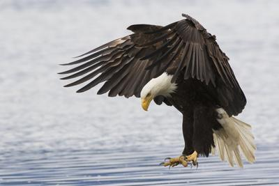 https://imgc.artprintimages.com/img/print/bald-eagle-alighting_u-l-q1cz7vg0.jpg?p=0