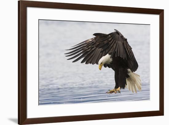 Bald Eagle Alighting-Ken Archer-Framed Premium Photographic Print
