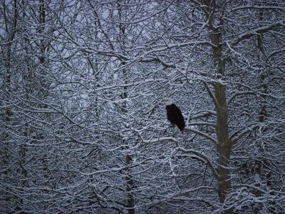 Bald Eagle Among Snow Covered Trees-Jeff Foott-Photographic Print