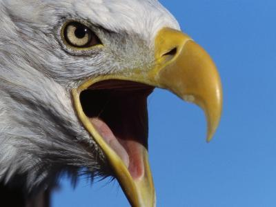 Bald Eagle Calling-W^ Perry Conway-Photographic Print