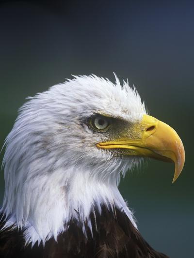 Bald Eagle, Canada.-Russ Heinl-Photographic Print