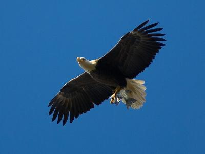 Bald Eagle Carries a Fish in its Talons over New York Citys Central Park--Photographic Print
