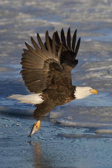 Bald Eagle Catchs a Fish in it's Talons-Hal Beral-Photographic Print