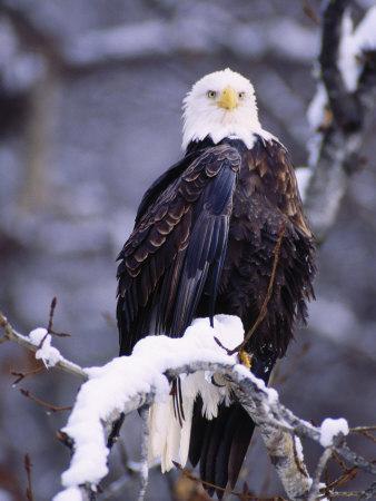 Bald Eagle, Chilkat River, AK-Elizabeth DeLaney-Photographic Print