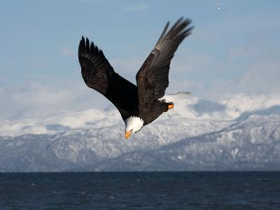 Bald Eagle Diving, Homer, Alaska, USA-David Northcott-Photographic Print