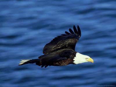 Bald Eagle, Feb, USA-David Tipling-Photographic Print