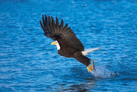 bald-eagle-fish-talons-alaska