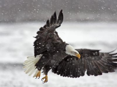 Bald Eagle Flies in Snowstorm, Chilkat Bald Eagle Preserve, Alaska, USA-Cathy & Gordon Illg-Photographic Print