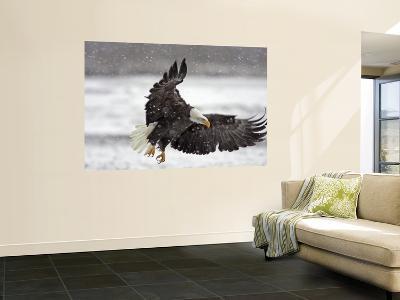 Bald Eagle Flies in Snowstorm, Chilkat Bald Eagle Preserve, Alaska, USA-Cathy & Gordon Illg-Wall Mural
