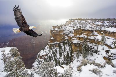Bald Eagle Flying above Grand Canyon-Steve Collender-Photographic Print