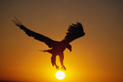 Bald Eagle Flying at Sunrise-W^ Perry Conway-Photographic Print