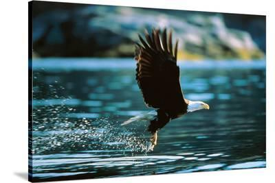 Bald Eagle Flying Low Over Water--Stretched Canvas Print