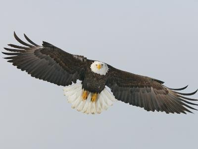 Bald Eagle Flying with Full Wingspread, Homer, Alaska, USA-Arthur Morris-Photographic Print