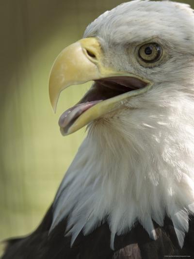 Bald Eagle from the Sedgwick County Zoo, Kansas-Joel Sartore-Photographic Print
