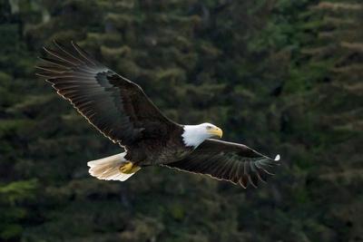 https://imgc.artprintimages.com/img/print/bald-eagle-glacier-bay-national-park-and-preserve-alaska-usa_u-l-q1d0j8h0.jpg?p=0