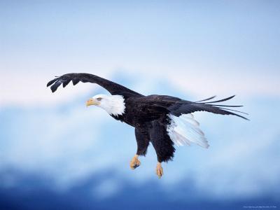 Bald Eagle, Haliaeetus Leucocephalus, AK-D^ Robert Franz-Photographic Print
