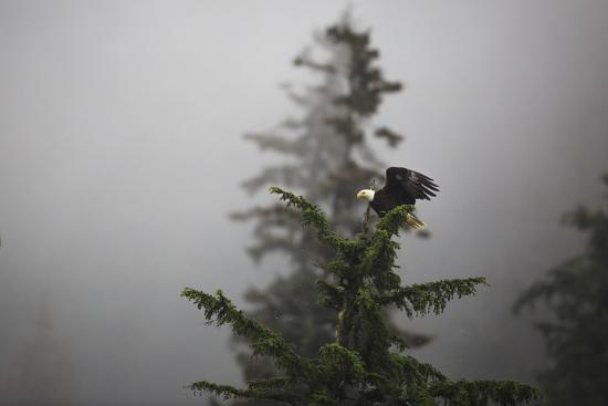 Bald eagle (Haliaeetus leucocephalus), Chugach National Forest, Alaska, United States of America, N-Ashley Morgan-Photographic Print