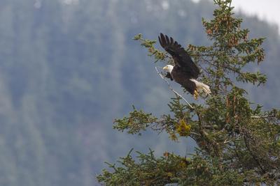 https://imgc.artprintimages.com/img/print/bald-eagle-haliaeetus-leucocephalus-chugach-national-forest-alaska-united-states-of-america-n_u-l-q1bsk740.jpg?p=0