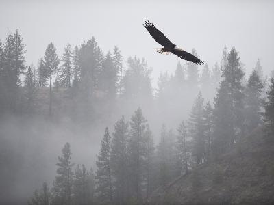 Bald Eagle (Haliaeetus Leucocephalus) Flying over the Trees, Coeur D'Alene Lake, Idaho, USA-Antonio Busiello-Photographic Print