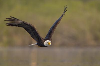 Bald Eagle (Haliaeetus Leucocephalus) in Flight, Washington, USA-Gary Luhm-Photographic Print