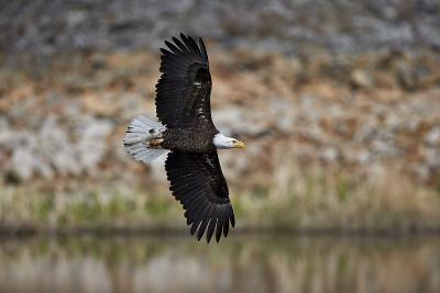 Bald Eagle (Haliaeetus Leucocephalus) in Flight, Yellowstone National Park, Wyoming, U.S.A.-James Hager-Photographic Print