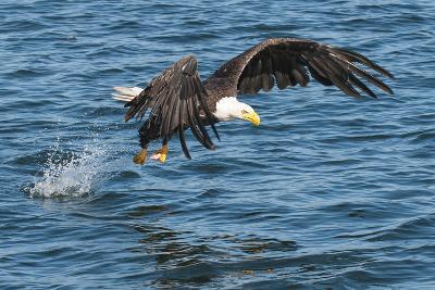 Bald Eagle (Haliaeetus Leucocephalus) Near Prince Rupert, British Columbia, Canada, North America-Michael DeFreitas-Photographic Print