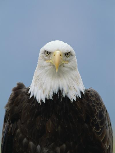 Bald Eagle (Haliaeetus Leucocephalus), North America-Konrad Wothe-Photographic Print
