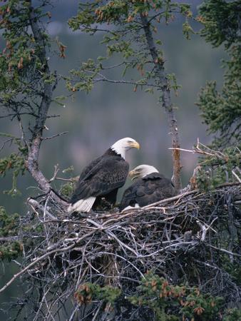 Bald Eagle (Haliaeetus Leucocephalus) Pair on Nest, Alaska-Michael S^ Quinton-Photographic Print