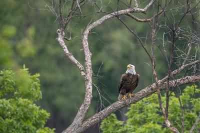 Bald Eagle, Haliaeetus Leucocephalus, Perching on the Branch of a Tree-Tom Murphy-Photographic Print