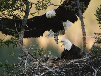 Bald Eagle (Haliaeetus Leucocephalus) Returning to Nest with Food for Chicks, Alaska-Michael S^ Quinton-Photographic Print