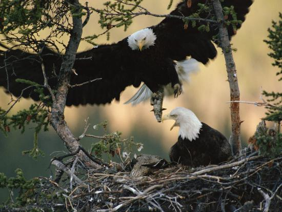 Bald Eagle (Haliaeetus Leucocephalus) Returning to Nest with Food for Chicks, Alaska-Michael S^ Quinton-Photographic Print