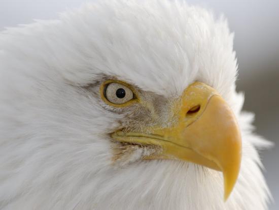 Bald Eagle (Haliaeetus Leucocephalus). the National Bird of USA-Tom Walker-Photographic Print