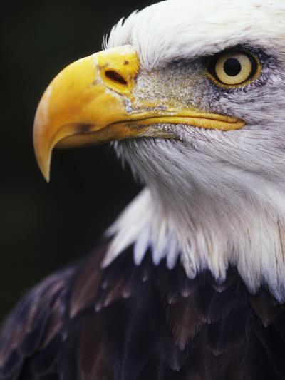 Bald Eagle (Haliaeetus leucocephalus)-Andrew McLachlan-Photographic Print