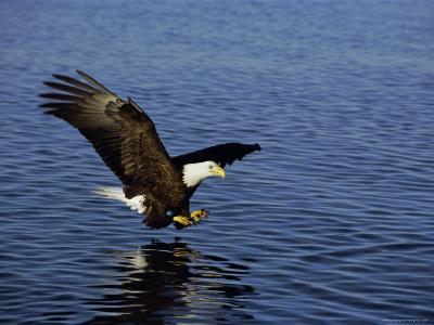 Bald Eagle (Haliaetus Leucocephalus) in February, Alaska, USA-David Tipling-Photographic Print