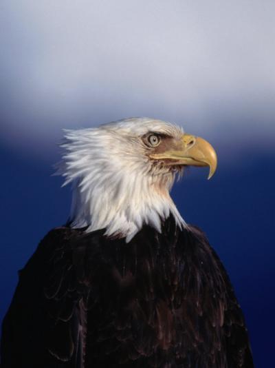 Bald Eagle (Haliaetus Leucocephalus), USA-Mark Newman-Photographic Print