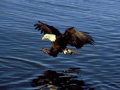 Bald Eagle, Hunting, USA-David Tipling-Photographic Print