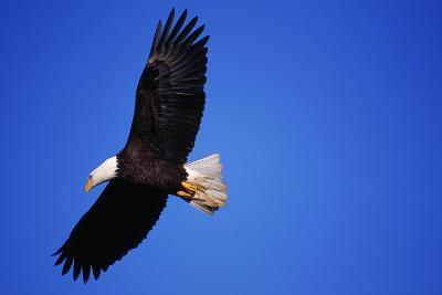 Bald Eagle Hunts, Nova Scotia-Paul Souders-Photographic Print