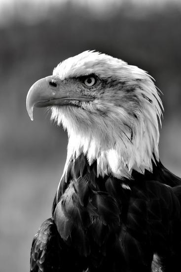 Bald Eagle in Black and White-Andrea & Tim photography-Photographic Print