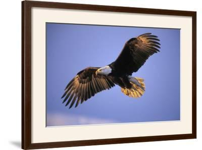 Bald Eagle in Flight, Early Morning Light--Framed Photographic Print