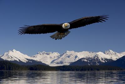 Bald Eagle in Flight Inside Passage Tongass National Forest Se Alaska Spring-Design Pics Inc-Photographic Print