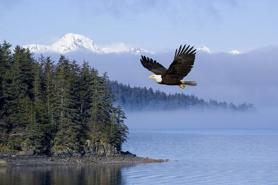 Bald Eagle in Flight over the Inside Passage with Tongass National Forest in the Background, Alaska-Design Pics Inc-Photographic Print